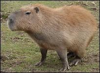 Quelle est la longueur du capybara ?