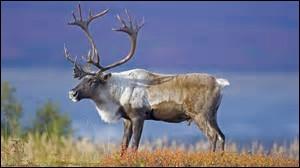 Quelle est la longueur de la queue du caribou ?