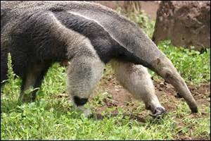 Quelle est la longueur du fourmilier géant ?