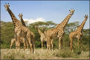 Quelle est la longévité chez la girafe ?