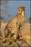 Quelle est la longueur de la queue du guépard ?