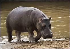 Quel est le temps de gestation chez l'hippopotame ?