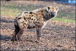 Quel est le poids de la hyène tachetée ?