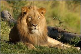 Quelle est la longévité du lion ?