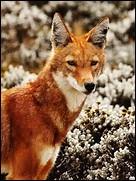 Quelle est la longueur de la queue du loup d'Abyssinie ?