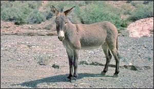Quel est le poids de l'âne sauvage d'Afrique ?