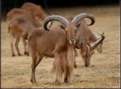 Quelle est la longévité du mouflon à manchettes ?