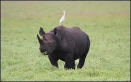 Quelle est la longueur de la queue du phacochère ?