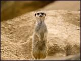 Quelle est la longueur du suricate ?