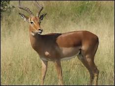 Quel est le temps de gestation chez l'impala ?
