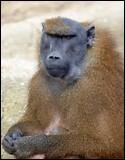 Quelle est la longueur du babouin de Guinée ?