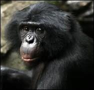Quelle est la longévité du bonobo ?