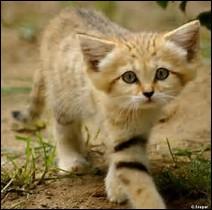 Quel est le temps de gestation chez le chat des sables ?