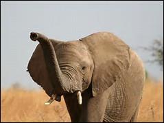 Quel est le poids de l'éléphant d'Afrique ?