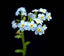 """Grec ancien - On a baptisé cette plante en raison de la forme de ses feuilles. Comment peut-on traduire """"myosotis"""" ?"""
