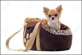 Les chihuahuas sont-ils tous des chiens d'appartement, de mode, à mettre dans des sacs et considérés comme des objets ?