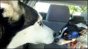 Les chihuahuas sont-ils méchants avec les autres chiens ?