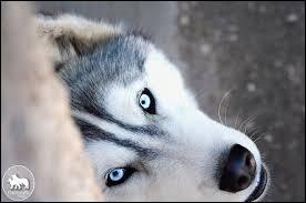 Quelle couleur d'œil est la plus courante chez les huskys ? Le