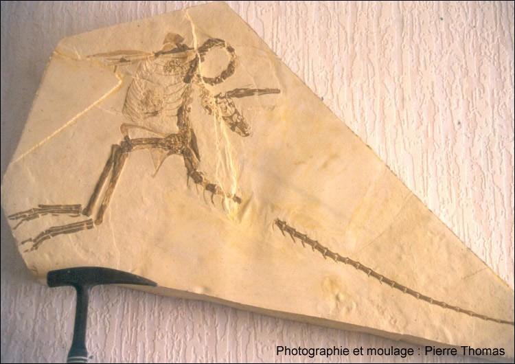 Le deuxième exemplaire connu au monde de Compsognathus, découvert en 1971 dans les calcaires lithographiques du Sud-Est de la France, est un fossile assez extraordinaire. Quel trésor nous offre-t-il ?