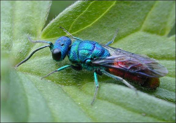 Combien mesure l'insecte le plus petit du monde?