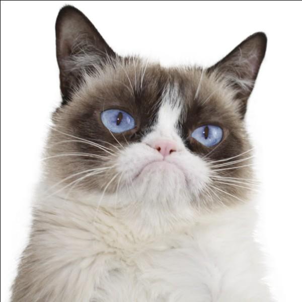 Aimez-vous Grumpy Cat ?