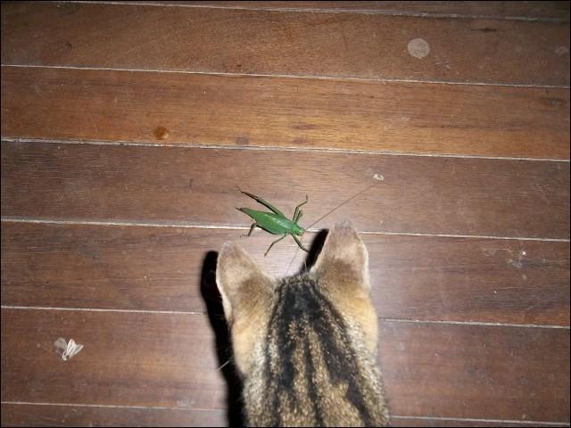 Identifie l'insecte guetté par le chat !