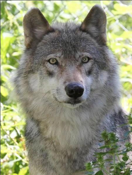 Tu te promènes dans la nature quand soudain, un loup apparaît. Quelle est ta réaction immédiate ?