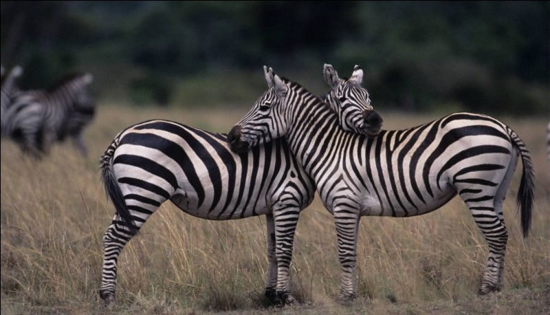 Quel câlin ! La première lettre du nom de ces animaux est Z. Que trouve-t-on juste après le Z ?