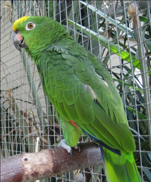 Cet oiseau au gros bec crochu imite très bien la voix humaine. Comment écrit-on la dernière syllabe de son nom ?