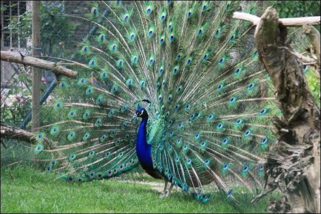 """Ce magnifique oiseau bleu """"fait la roue"""". Voici des lettres pour écrire son nom : """"P - A - H - N - O"""". Laquelle jettes-tu car elle n'est pas dans le nom de cet oiseau ?"""