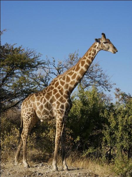 Vrai ou faux ? Dans le nom de cet animal, il y a plus de consonnes que de voyelles.