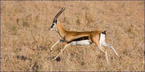 """Élégante et rapide, elle est de la même famille que l'antilope. Voici quelques lettres de son nom : """"G - A - E - E - L - L"""". Mais il en manque une. Laquelle ?"""