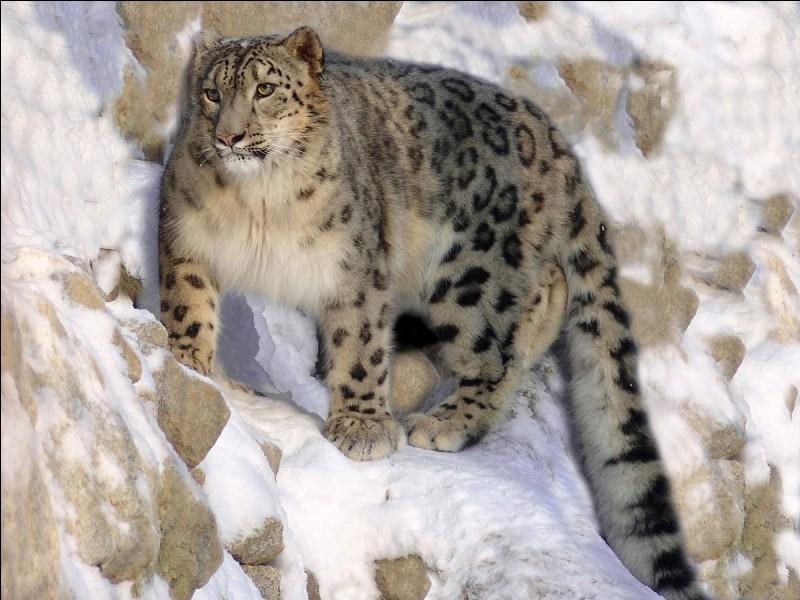 """La panthère des neiges porte un autre nom qui est une anagramme de """"noce"""". Quel est ce nom ?"""