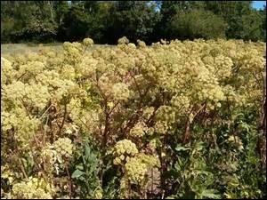 Quelle culture d'une plante utilisée en médecine et en gastronomie depuis l'Égypte ancienne perdure dans ce marais ?