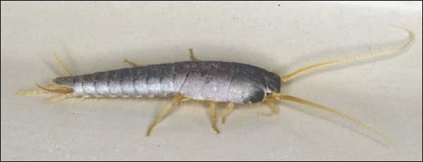 Comment appelle-t-on cet insecte dit nuisible que l'on rencontre quelquefois dans les maisons ?