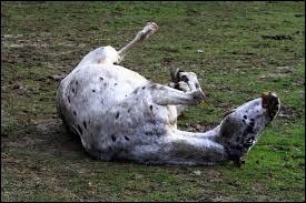 Lorsqu'un cheval est agité, il peut souffrir de :