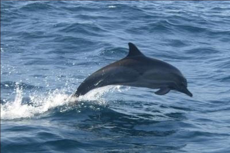 Le dauphin est un cétacé.