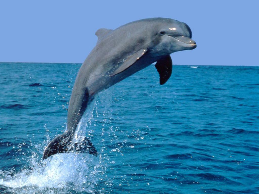 Le dauphin : vrai ou faux ?