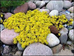Plante des rocailles et lieux arides, du genre Sedum (âcre, blanc, etc.) :