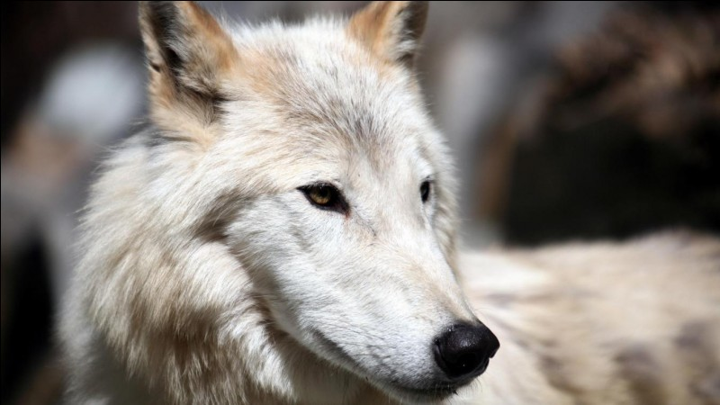 Le loup est...