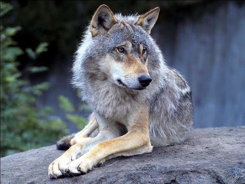 Le loup fait partie de la famille des canidés.