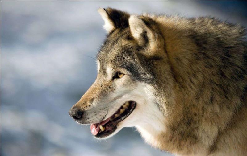 Le loup est dangereux.