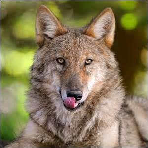 """Que veut dire l'expression """"Avoir une faim de loup """" ?"""