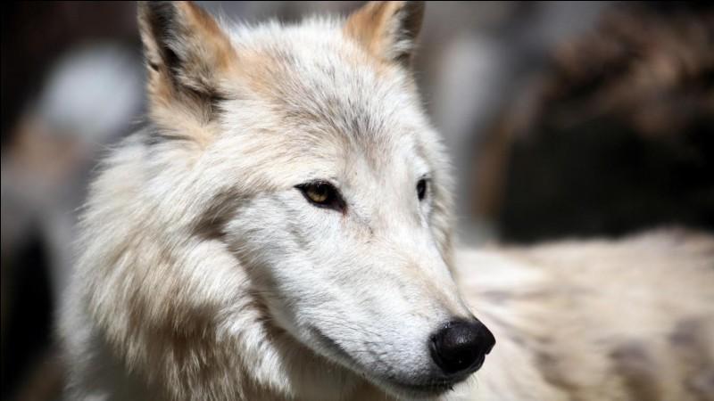 Quizz - Les loups