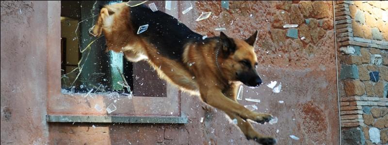"""Quelle est la race du chien dans """"Rex, chien flic"""" ?"""