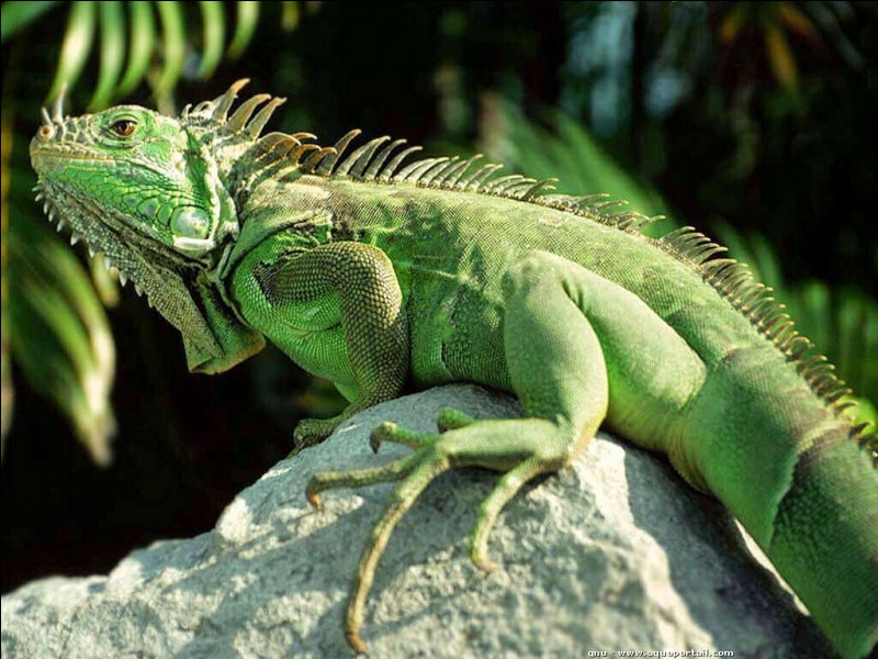 """I - Un """"iguane"""" vert adulte est omnivore."""