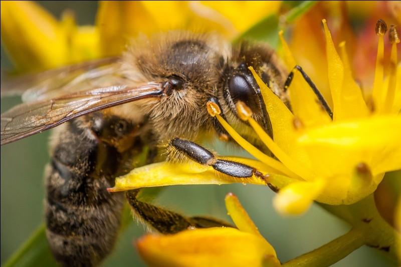 Dans quelle mythologie Aristée est-il le dieu de l'apiculture et de la fabrication du fromage ?