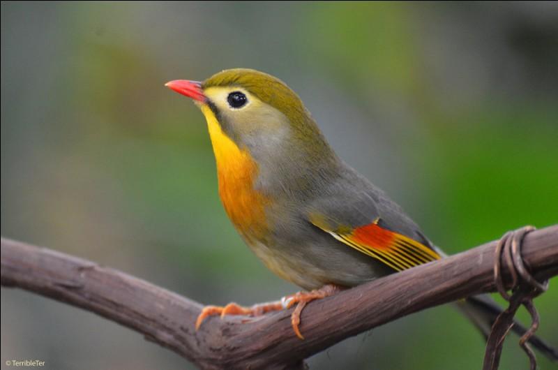 Quizz les passereaux de nos jardins quiz oiseaux for Passereaux des jardins