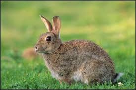 Si l'orifice génital d'un lapin est rond, il s'agit d'...