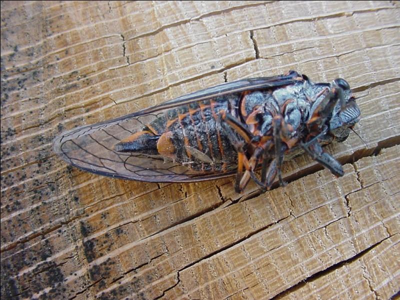Cette espèce de cigale ne chante pas forcément tout l'été, par contre sa larve peur rester ... enfouie dans le sol avant de se transformer en adulte !